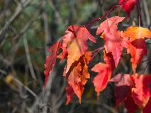 Leaves of Amur Maple or Acer ginnala in autumn sunlight with bokeh background, selective focus, shallow DOF.  stock photos