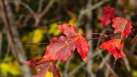 Leaves of Amur Maple or Acer ginnala in autumn sunlight with bokeh background, selective focus, shallow DOF.  royalty free stock photo