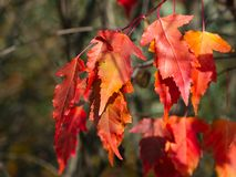 Leaves of Amur Maple or Acer ginnala in autumn sunlight with bokeh background, selective focus, shallow DOF.  stock photo