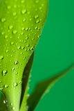Leaves And Drop Royalty Free Stock Photo