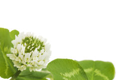 Leaves And White Flower Of Clover Royalty Free Stock Photos
