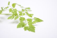 Leaves Of Anthriscus Cerefolium, Chervil Royalty Free Stock Images