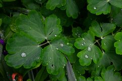 Leaves of aquilegia are covered with drops of water. The green leaves of the aquilegia are covered with drops of water Stock Photos