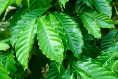Leaves of arabica coffee tree Stock Images