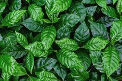 leaves of arabica coffee tree nursery plantation, leaves background. royalty free stock photography