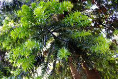 Leaves of araucaria, pine tree. Araucaria is an evergreen coniferous tree, Picture was made in Uruguay Stock Photos