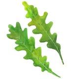Leaves of arugula. Watercolor illustration  on white backgroundnn Royalty Free Stock Photo