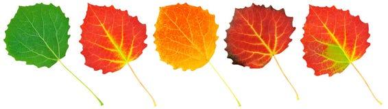 Leaves of aspen Stock Images