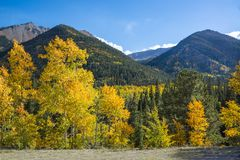 Aspen leaves turning golden, orange and yellow in the Colorado mountains during fall. Leaves on the Aspen trees turning golden, orange and yellow in the Colorado stock photography
