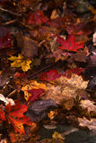 Leaves of Autumn. Autumn leaves laying on forest floor Stock Images