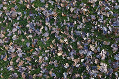 Leaves in autumn. Falled leaves on a green meadow Royalty Free Stock Image