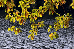 Leaves in autumn. Colouring of the leaves  in front of e lake Stock Images