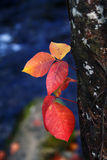 Leaves in Autumn. Beautiful colorful fall Autumn season scene of orange, red, yellow leaves in forest Stock Photography