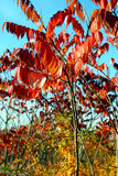 Leaves in autumn. Royalty Free Stock Image
