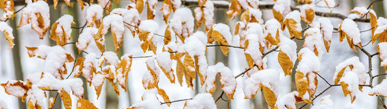 Leaves in autumn color covered by snow Stock Photography