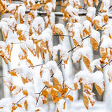Leaves in autumn color covered by snow Stock Images
