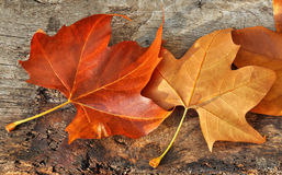 Leaves in autumn colors Royalty Free Stock Image