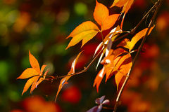 Leaves in Autumn Colors Stock Photography