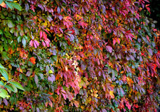 Leaves in autumn colors Royalty Free Stock Photos