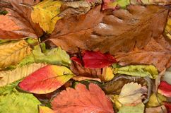 Leaves in autumn colors stock photos