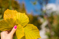Leaves, autumn. Dry leaves in hand young girls Royalty Free Stock Photography