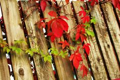 Leaves. Autumn leaves on the fence Royalty Free Stock Photo