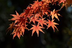 Leaves in autumn forest  Japan. Leaves in autumn forest Stock Photos