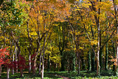 Leaves in autumn forest. At Japan Royalty Free Stock Photo