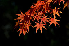 Leaves in autumn forest. Japan Stock Photography