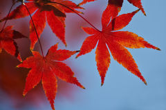 Leaves in autumn forest. At japan Stock Images