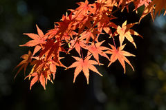 Leaves in autumn forest. At Japan Royalty Free Stock Photography