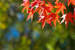 Leaves in autumn forest. At Japan Royalty Free Stock Photos