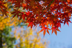 Leaves in autumn forest at Japan. Red maple leaves in autumn forest at Japan Stock Images