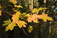 Leaves in autumn forest Royalty Free Stock Photo