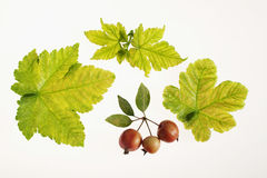 Leaves and autumn fruits. Leaves and wild apples on white background Stock Photo