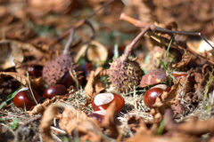Leaves and autumn fruits Royalty Free Stock Photo