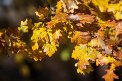 Leaves in autumn Royalty Free Stock Photos