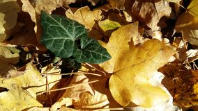Leaves. Autumn leaves on the ground Royalty Free Stock Image