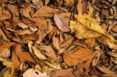 Leaves. Autumn leave close wallpaper picture Stock Photography