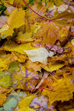 Leaves. Autumn leaves lying on the ground in the rain Stock Photos