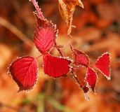 The leaves of autumn raspberry. Stock Image