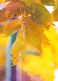Leaves in autumn season Royalty Free Stock Photos