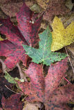 Leaves in autumn shades. Maple leaves in autumn shades in Scotland Royalty Free Stock Photo