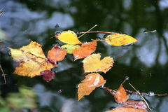Leaves in autumn. Autumn is a third season of the year Royalty Free Stock Images