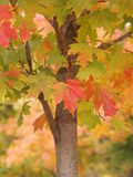 Leaves on autumn tree Stock Images