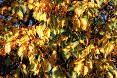Leaves in autumn Royalty Free Stock Photo