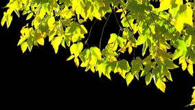 Alpha channel tree leaves. The leaves of the autumn tree are moved by a weak gust of wind on the alpha channel stock footage