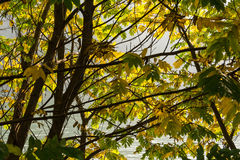 Leaves in autumn. A view of the leaves on the trees with autumn colors Royalty Free Stock Photography