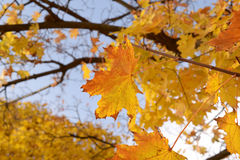 Leaves in autumn Stock Images