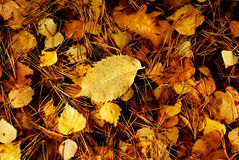 Leaves autumnal royalty free stock image